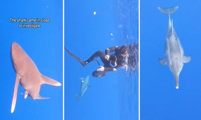 """Delfín ve a un tiburón dando vueltas cerca de unos buzos e intenta """"protegerlos"""""""