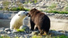 Cachorro huérfano de oso pardo se reúne con pequeña osa polar al llegar al zoológico de Detroit