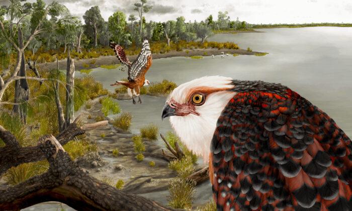 El archaehierax sylvestris, una especie fósil de rapaz recientemente descubierta que vivió durante el Oligoceno tardío en el interior de Australia. (J Blokland/Universidad de Flinders.)