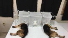 Cómo un grupo de investigación expuso el rol de Fauci en financiar experimentos abusivos en animales
