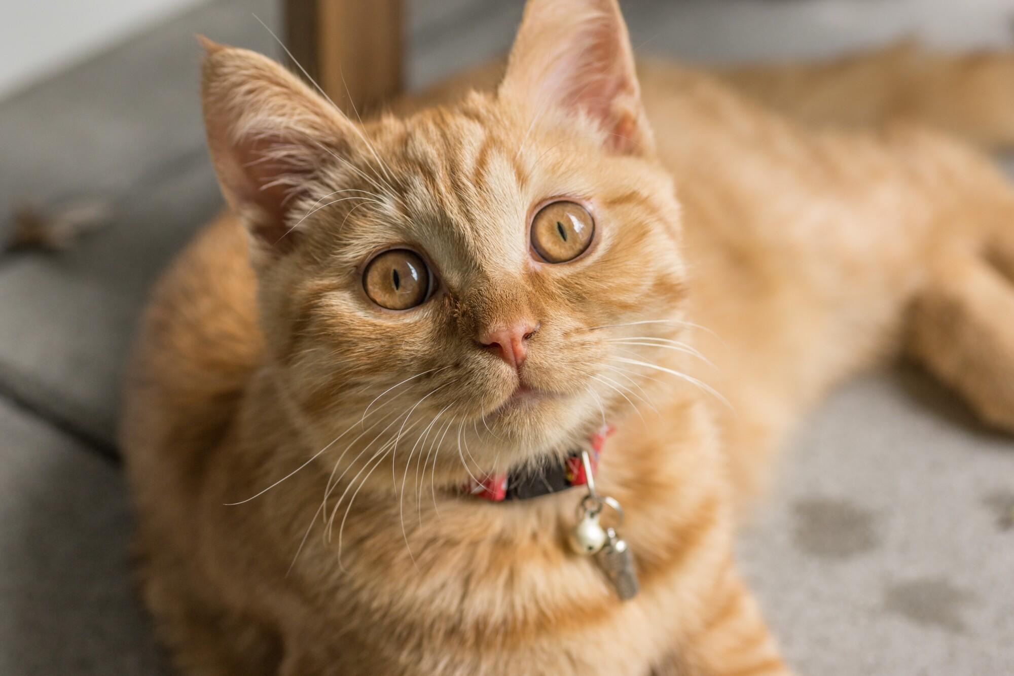 Militar adopta a un gato que reanimó tras hallarlo asfixiado por cenizas del volcán en La Palma