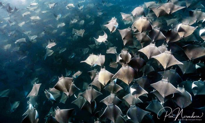Buceadores quedan atónitos al cruzarse con miles de mantarrayas ¡Mira las increíbles imágenes!