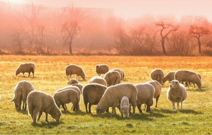 Granjero logra que sus ovejas formen un corazón para despedir a su tía fallecida