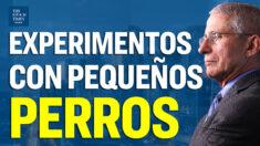 """Agencia de Fauci financió pruebas """"crueles e innecesarias"""" en cachorros"""