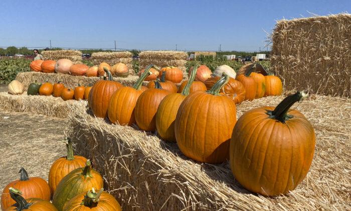 Calabazas recogidas previamente en un pajar para que la gente las tome o fotografíe en Cool Patch Pumpkins, en Dixon, California, el 26 de septiembre de 2021. (Ilene Eng/The Epoch Times)