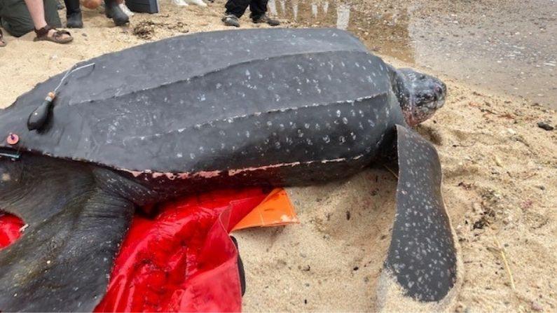 Tortuga marina de 200 kg varada vuelve a su hogar tras esfuerzo de organizaciones locales