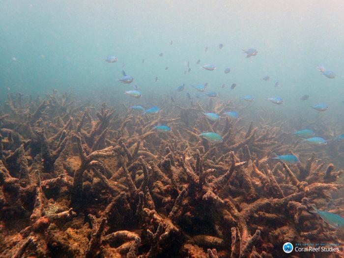 Arrecifes de Coral muertos en la zoa norte de la Gran Barrera de Coral de Australia ( ARC Universidad James Cook)