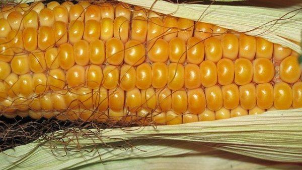 Os OGM também prejudicam a saúde do intestino, alimentam o câncer e levam a outras doenças (Pixabay)